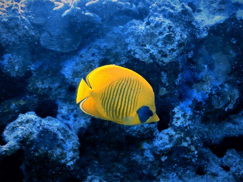 Rotmeer Falterfisch